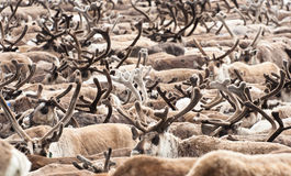 A herd of reindeer Stock Image