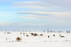 Herd of reindeer grazes in the tundra. Nearby of polar circle at a cold winter day Stock Image