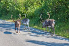 Herd of reindeer in the Norway stock images