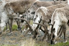 A herd of reindeer in Norwegian Lapland Stock Photography