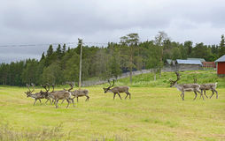 Herd of reindeer Royalty Free Stock Images