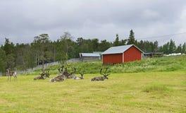 Herd of reindeer Royalty Free Stock Photos