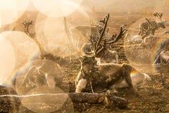 Herd of reindeer in rainstorm. Stock Photos