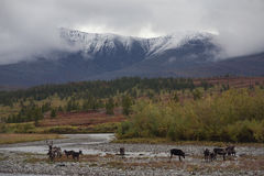 A herd of reindeer on the river. stock photos