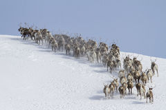 Herd of reindeer running around the mountain winter day Royalty Free Stock Image