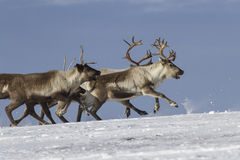 Herd of reindeer running on  tundra Stock Images