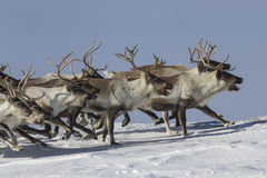 A herd of reindeer that runs on snow-covered tundra sunny winter Stock Photos