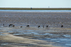 A herd of reindeer on the sandbar in the river. River Anabar. Yakutia. Russia Stock Images