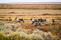 Herd of reindeer, Sweden. Herd of reindeer on tundra of Sweden in sunny fall day stock photos