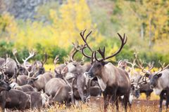 Herd of reindeer in the tundra in autumn . In the foreground a beautiful deer full face stock image