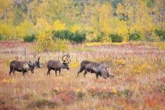 Herd of reindeer in the tundra in autumn . stock image