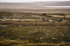 Herd of reindeer on tundra in Sweden. Herd of reindeer or caribou grazing on tundra in Sweden on sunny autumn day Royalty Free Stock Image