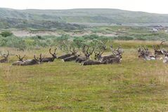 A herd of reindeer in Varangerhalvoya National Park, Finnmark, Norway Stock Photography
