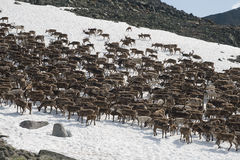 Herd of reindeers Royalty Free Stock Photography