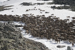 Herd of reindeers Royalty Free Stock Image