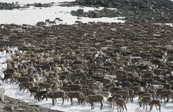 Herd of reindeers Royalty Free Stock Photos
