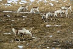 Herd of reindeers in Iceland Stock Photography