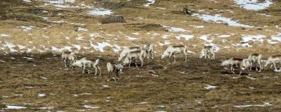 Herd of reindeers in Iceland Royalty Free Stock Photo