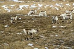 Herd of reindeers on a meadow in spring Royalty Free Stock Images
