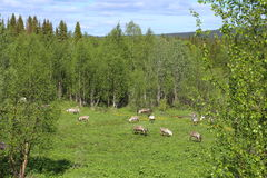 Herd of reindeers on a meadow in Sweden royalty free stock photos