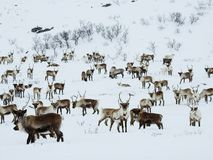 Herd of reindeers in a snowy landscape of Norway stock images