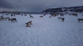 Herd of reindeers in winter Sami camp. Herd of reindeers looking for food in snow, Tromso region, Northern Norway stock footage