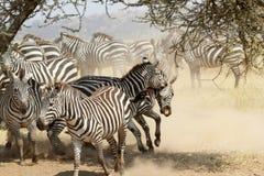 Herd of restless common zebras Royalty Free Stock Photo