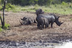 Herd of Rhinocerous on muddy riverbank Royalty Free Stock Photography
