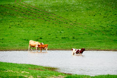 The herd in the river Stock Photo