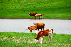 The herd in the riverside Stock Images