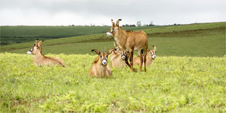 Herd of Roan Antelope on the Hills of Nyika Plateau. Malawi, Africa Stock Photos