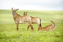 Herd of Roan Antelope on the Hills of Nyika Plateau Royalty Free Stock Images