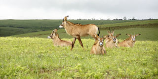 Herd of Roan Antelope on the Hills of Nyika Plateau Royalty Free Stock Photo