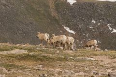 Herd of Rocky Mountain Bighorn Sheep Ewes Royalty Free Stock Photos