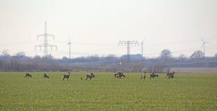 Herd Of Roe Deer Royalty Free Stock Photos