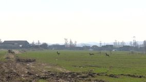Herd of roe deer run through field. Follow shot stock video