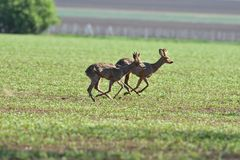 Herd of roe deer running through a farm field in spring. Roe deer and fawn jumping into the forest to hide royalty free stock photography