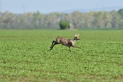 Herd of roe deer running through a farm field in spring. Roe deer and fawn jumping into the forest to hide royalty free stock photos