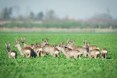 Herd of roe deers on meadow Royalty Free Stock Photo