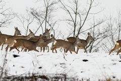 Herd of roe deers in an overcast winter day Royalty Free Stock Photos