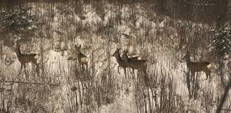 Herd of Roe deers passing winter bushes in lithuania Stock Photography