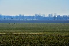 A herd of roe in a field. A herd of roe in a gren field Royalty Free Stock Photo