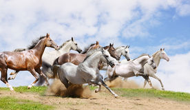 Herd run on field. Under the cloudy skies Stock Image