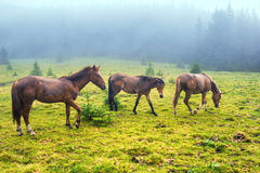 Herd of running brown horses. Herd of brown horses feed on the misty green field with forest Stock Photos