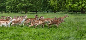 Herd of running fallow deer Royalty Free Stock Image