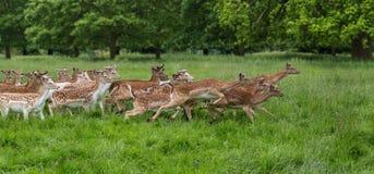 Herd of running fallow deer. Herd of fallow deer (Dama dama) running across the meadow royalty free stock image
