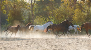 Herd of running horses. Across the meadow at autumn time stock photo