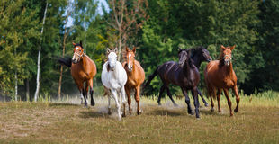 Herd of running horses Royalty Free Stock Photo