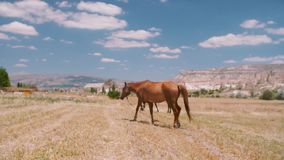 Horses in the field. Herd of the running horses in the flower field. Red horse with long mane feeding in green meadow stock footage