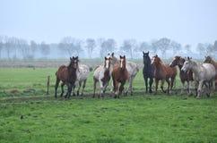 Herd of running horses on foggy pasture Stock Image